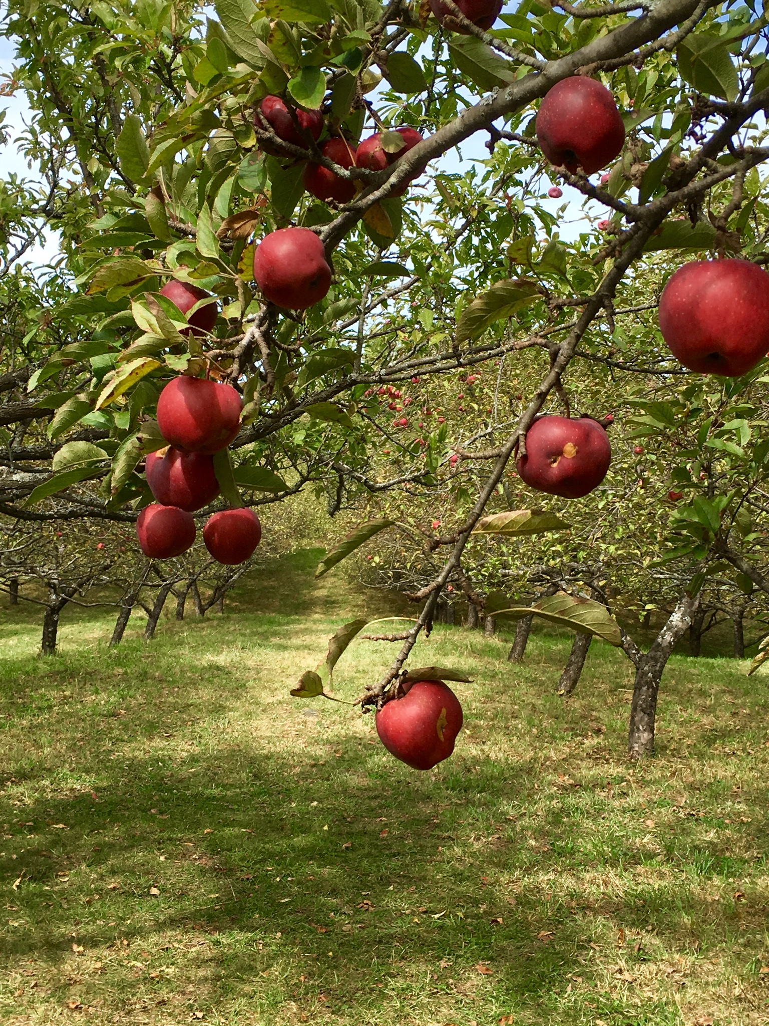 Apples in Path