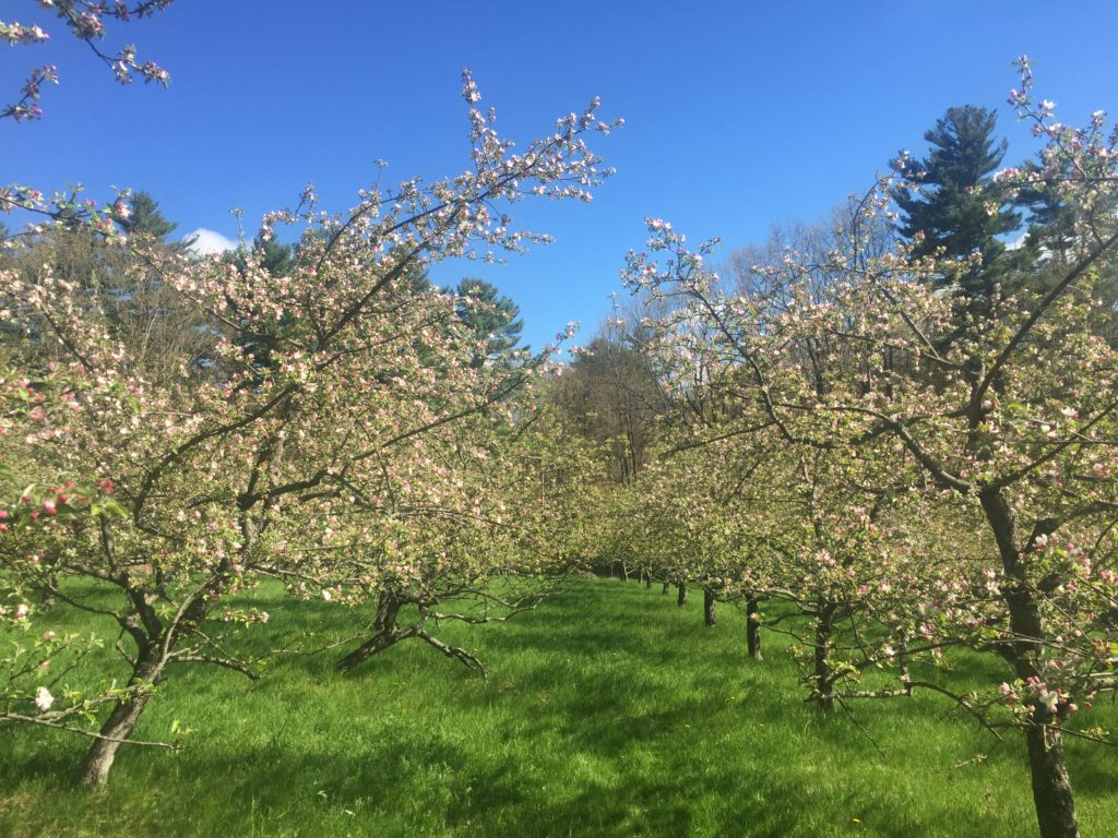 Spring Orchard Blooms